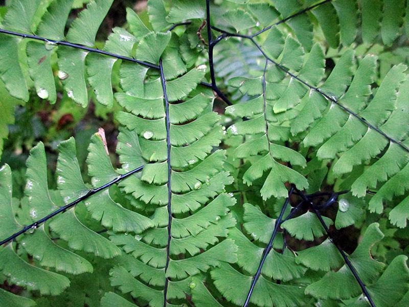 Maidenhair fern in Mount Rainier National Park