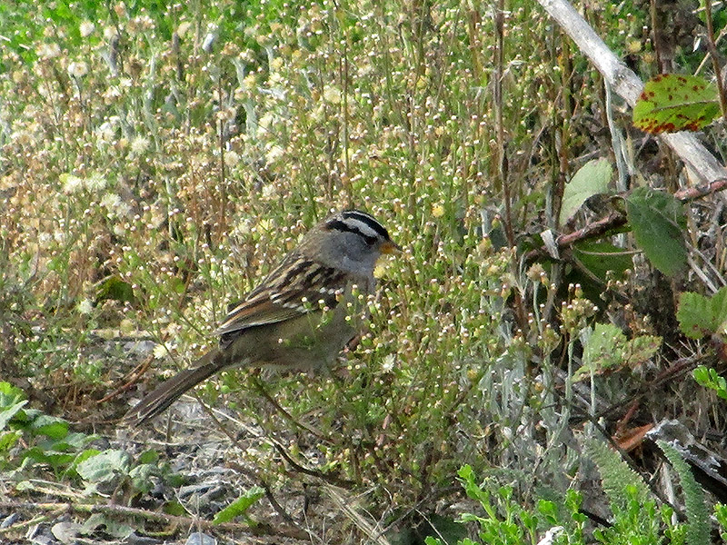 White-crowned sparrow at Point Reyes National Seashore