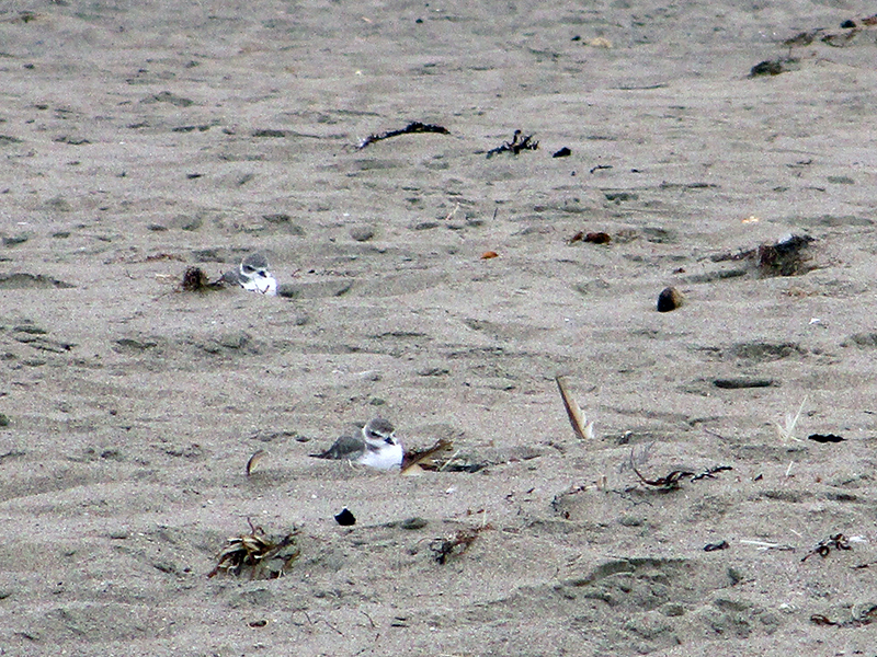 Snowy plovers on Limantour Beach in Point Reyes National Seashore