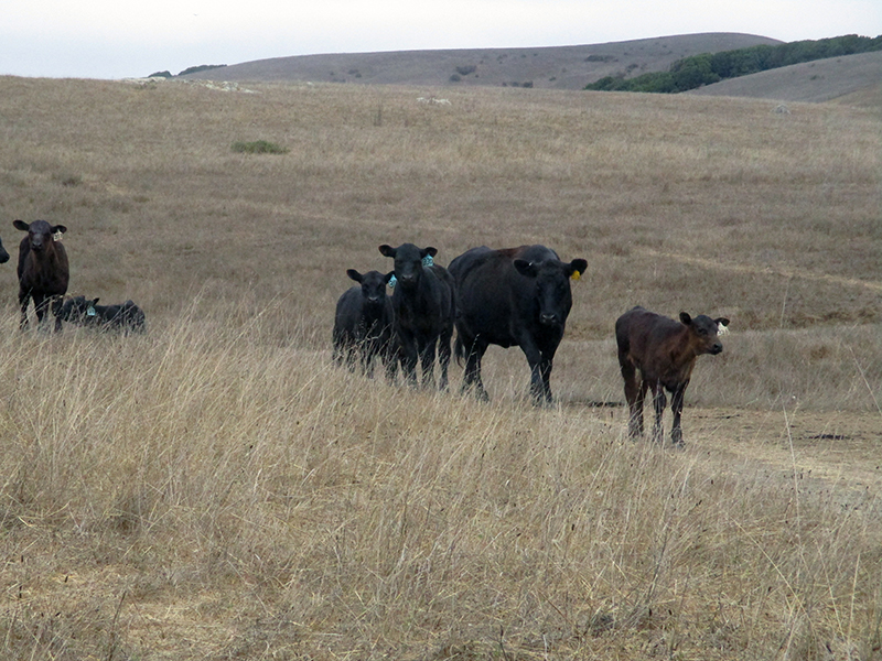 Cows at Giacomini Wetlands near Point Reyes