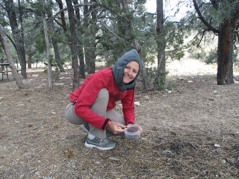 Christi gathering pinyon nuts in Great Basin National Park