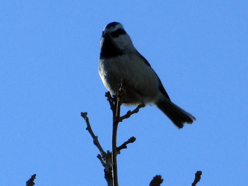 Mountain chickadee in Black Canyon of the Gunnison National Park