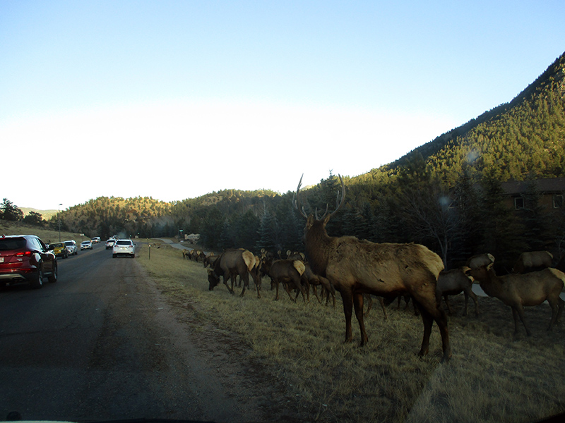 Elk in Estes Park Colorado