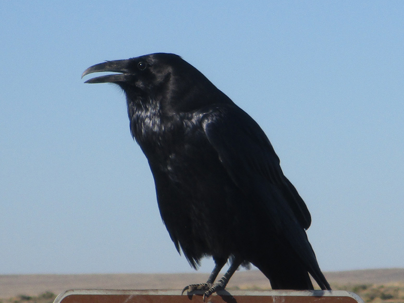 Common raven at Petrified Forest National Park