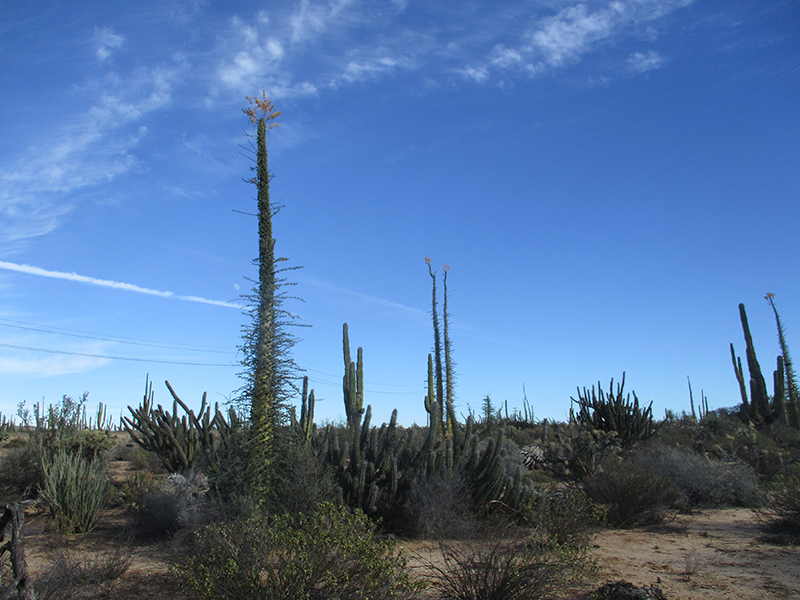Boojum trees and cactus in Baja California desert