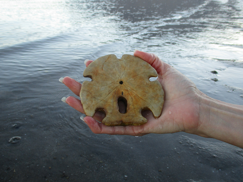 Arrowhead sand dollar in Baja California