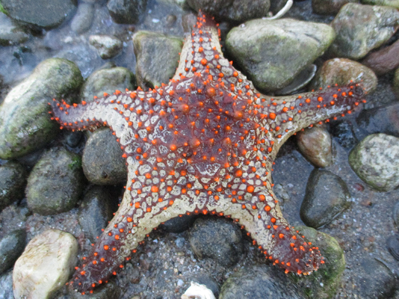 Sea star in Baja California