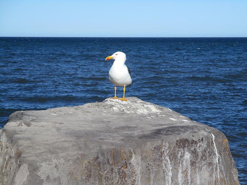 Gull in Baja California