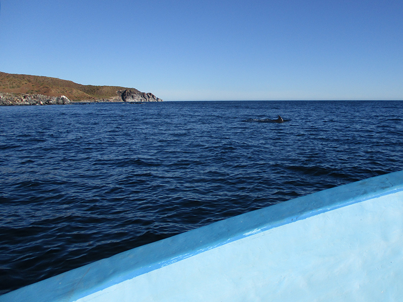 Dolphins in Loreto Bay