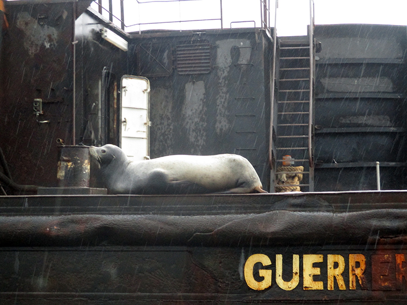 Sea lion on a salt barge near Guerrero Negro