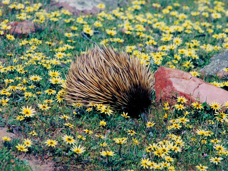 Echidna on Kangaroo Island