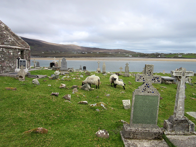 Sheep among the headstones in Kildownet Old Cemetery on Ireland's Achill Island
