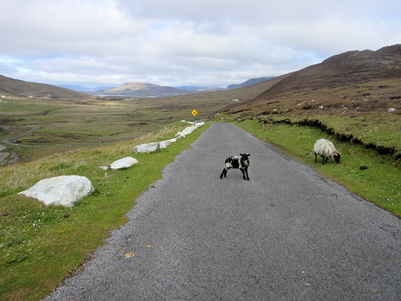 Sheep on the road in Ireland's Achill Island
