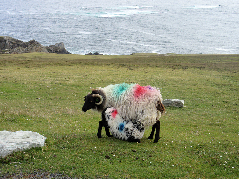 Sheep with a sea view on Ireland's Achill Island