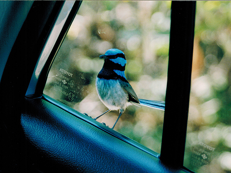 Superb fairy wren outside the car window