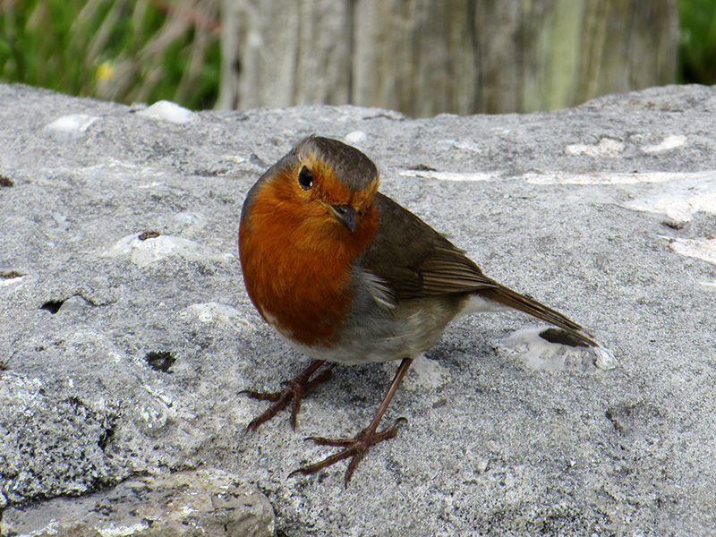 European robin on the Aran Island of Inishmore