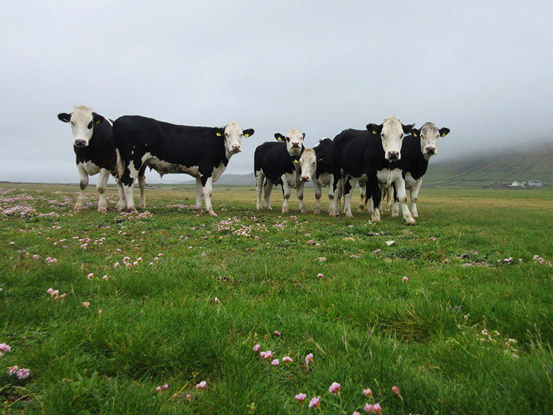 Cows on Ireland's Dingle Peninsula
