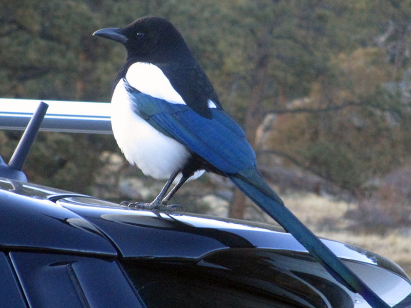 Black-billed magpie at Rocky Mountain National Park