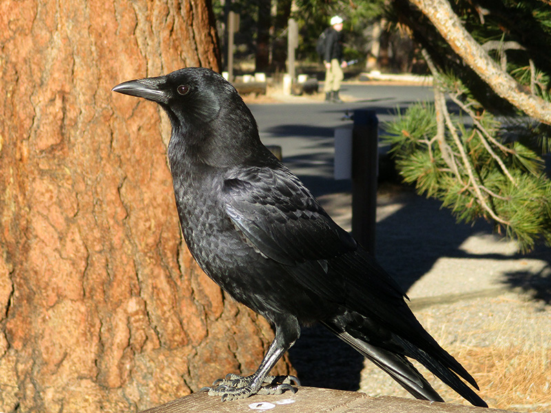 American crow in Rocky Mountain National Park