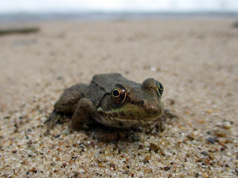 Green frog at Indiana Dunes National Lakeshore