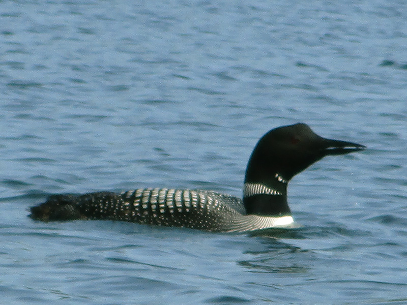 Common loon at Isle Royale National Park