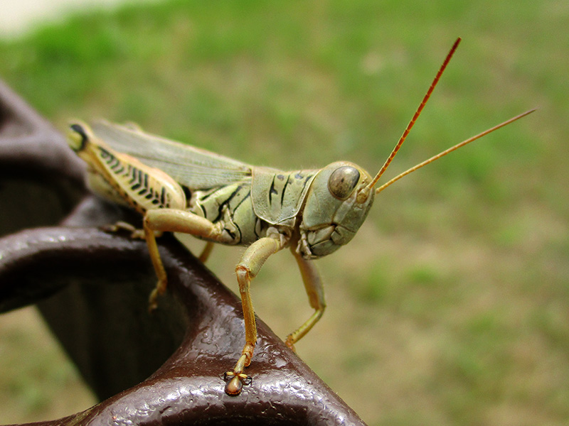 Differential grasshopper at Missouri National Recreational River