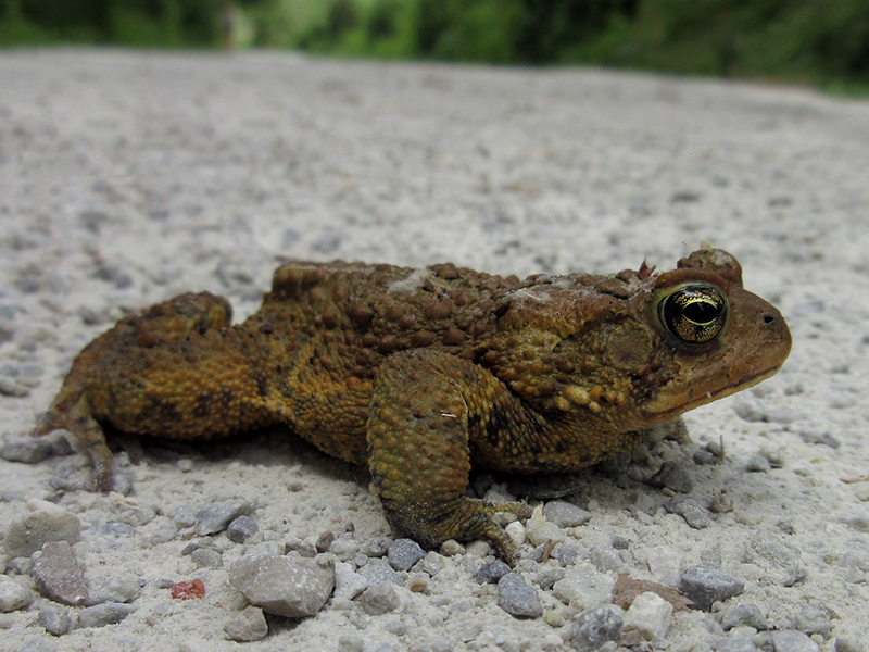 American toad in Cuyahoga Valley National Park