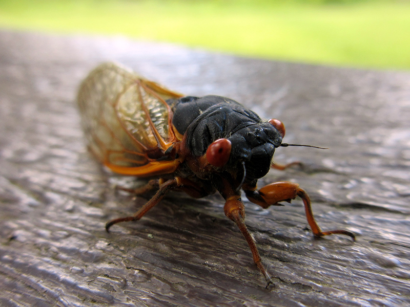 17-year cicada in Cuyahoga Valley National Park