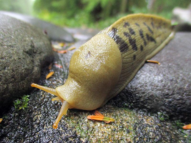 Banana slug at Olympic National Park