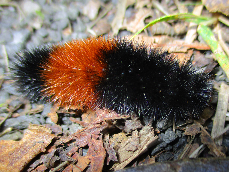 Wooly bear caterpillar in Lewis and Clark National Historical Park