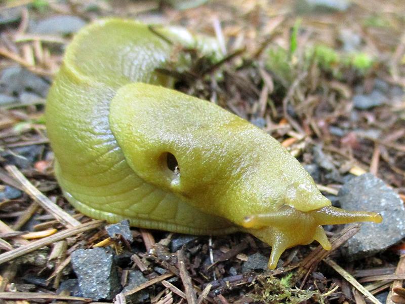 Banana slug in Lewis and Clark National Historical Park