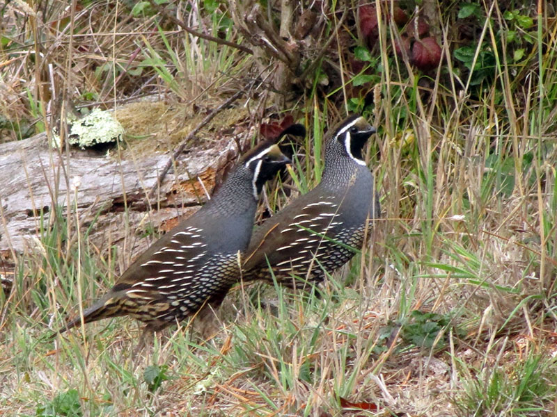 California quail (males) at Point Reyes National Seashore