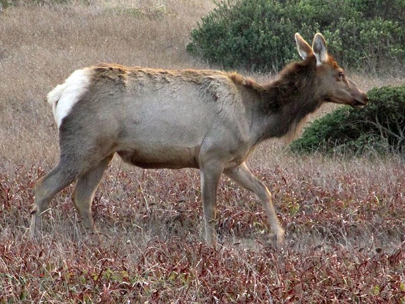 Tule elk at Point Reyes National Seashore