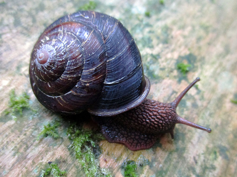 Pacific sideband snail at Redwood National Park