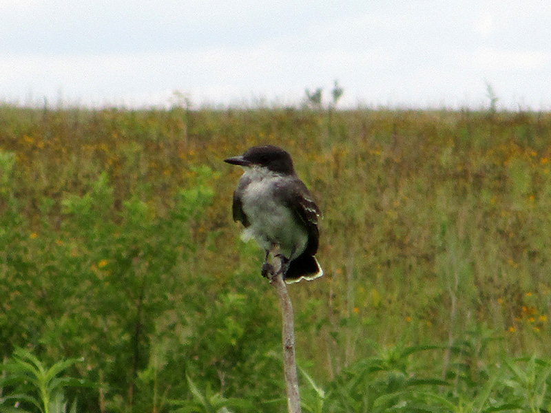 Eastern kingbird at Missouri National Recreational River