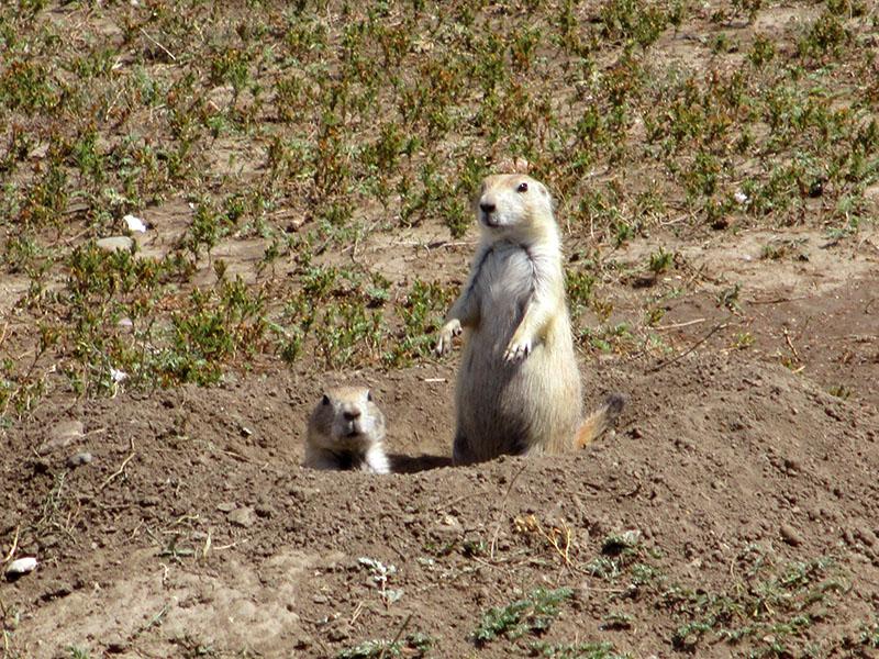 Prairie dogs in Badlands National Park