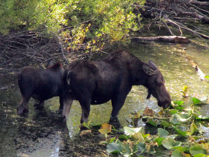Mother moose and calf in Grand Teton National Park