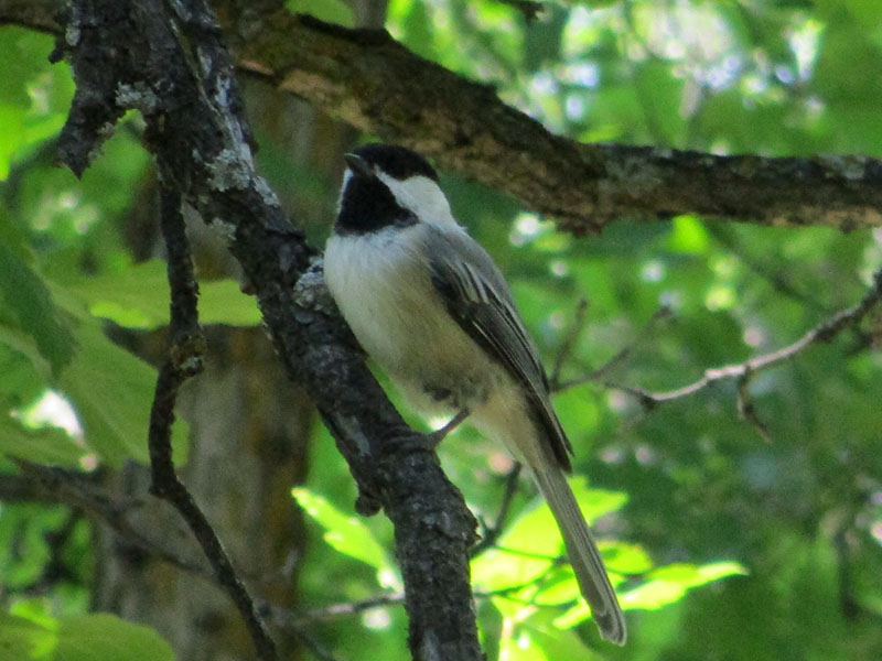 Black-capped chickadee in Devils Tower National Monument
