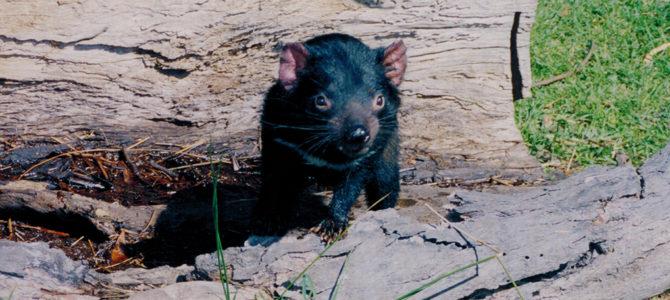 A Devil of a Good Time in Tasmania